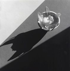 robert mapplethorpe. orchid 1987