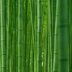 Bamboo forest : Arashiyama, Kyoto, Japan / Japón by Lost in Japan, by Miguel Michán, via Flickr