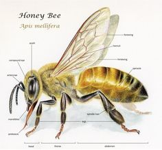 Body parts of a honey bee. The worker bee.Discover the benefits of honey Buzzy Bee, Illustration Botanique, Science Illustration, Bee Illustration, Watercolor Illustration, Watercolour, I Love Bees, Bees And Wasps, Bee Tattoo
