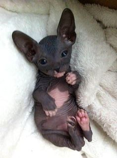 The first Sphynx cats originally came from Canada. It is a result of the gene mutation that for the first time produced hairless kitten.