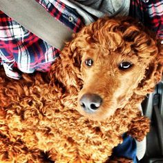Glamour poodle on the car ride.