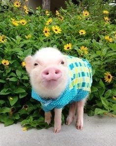 Miniature Pet Pigs – Why Are They Such Popular Pets? – Pets and Animals Cute Baby Animals, Animals And Pets, Funny Animals, Farm Animals, Baby Pigs, Pet Pigs, Martha Stewart Pets, Cute Piglets, Teacup Pigs