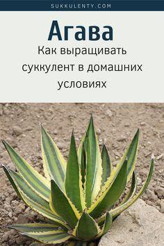 Особенности суккулентов рода Агава. Как выращивать в доме удивительное растение. Популярные виды #суккуленты