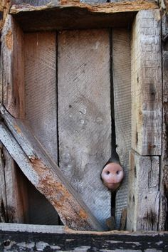 I see you piggy😋 Cute Baby Animals, Farm Animals, Animals And Pets, Funny Animals, This Little Piggy, Little Pigs, Beautiful Creatures, Animals Beautiful, Animal Fails