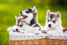 Spring Siberians by Irene Mei #cute #dogs