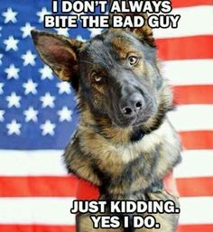 this dog looks like my dog, lightning! also is it normal for a 1 year old purebred german shepherd to have a curly tail? please help me on this! ENJOY THE MEME!!! :D