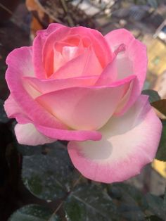 I love you Pixie Beautiful Rose Flowers, Unusual Flowers, Love Rose, Beautiful Gardens, Beautiful Flowers, Rose Of Sharon, Lavender Roses, Botanical Flowers, Flower Wallpaper
