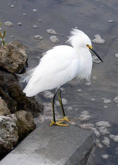 snowy egret - when i was little we had this spectacular victorian era velvet hat with egret feathers that i adored. egrets are a forever love for me