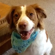 Lucy the Brittany Spaniel