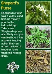 shepherd's purse - is this the monstrous weed that has taken over half my lawn (the half the mouse eared hawkweed left over)?