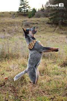 Cattle dog dance! #dance #cattledog #dogs