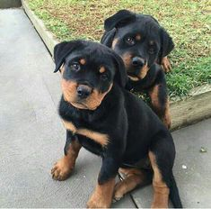"""Figure out additional information on """"rottweiler pups"""". Take a look at our site. Figure out additional information on """"rottweiler pups"""". Take a look at our site. Animals And Pets, Cute Animals, German Dog Breeds, Rottweiler Puppies, Beagle, Dog Owners, Best Dogs, Pitbull, Dogs And Puppies"""