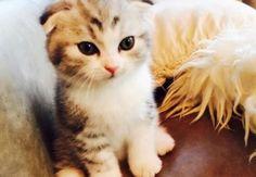 """""""くみっきー""""こと舟山久美子が飼い始めた、スコティッシュフォールドの子猫・アムくん。ネット上では「可愛すぎる!」と話題になっています。"""