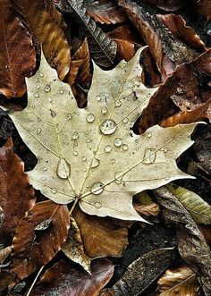 Raindrops on Trail Leaf - Autumn Leaf after rain at Kingwood Center Gardens, Mansfield, Ohio Landscape and Nature Photography by Vincent Nobel Dew Drops, Rain Drops, Tree Leaves, Plant Leaves, Frida Art, Water Droplets, Foto Art, Autumn Inspiration, Fall Season
