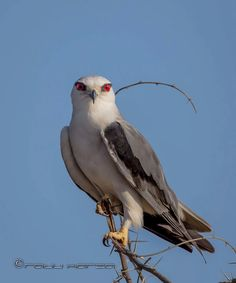 Photo: Black-winged kite India,Rajkot,09-03-2016.  The black-winged kite (Elanus caeruleus) is a small diurnal bird of prey in the family Accipitridae best known for its habit of hovering over open grasslands in the manner of the much smaller kestrels. This Eurasian and African species was sometimes combined with the Australian black-shouldered kite (Elanus axillaris) and the white-tailed kite (Elanus leucurus) of North and South America which together form a superspecies. This kite is…