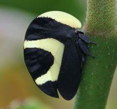 """Portuguese Helmet"" Planthopper (Membracis foliata), family Membracidae, Bolivia"