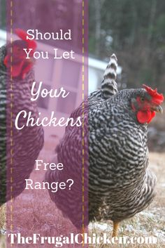 Before you free range your chickens - read this. From FrugalChicken