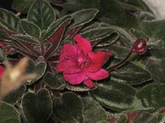 African Violet live plant DANGEROUS red by Shantiyarnandknits, $2.75
