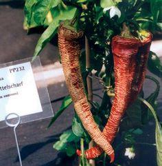 Elephant Chili - plant bought at Hofer
