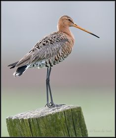 Black-tailed Godwit / Grutto / Limosa limosa Photo Gallery by Toon de Smit. The Black-tailed Godwit is Near Threatened and still hunted for food in France. Reptiles, Endangered Plants, Wild Creatures, Shorebirds, All Birds, All Nature, Mundo Animal, Colorado, Bird Watching