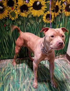 "16-410 ""Rocky"" is an adoptable Pit Bull Terrier searching for a forever family near West Babylon, NY. Use Petfinder to find adoptable pets in your area."