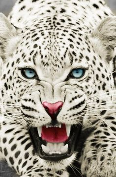 colorful animals | snow leopard