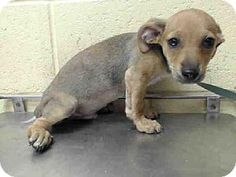 Downey, CA - Chihuahua/Dachshund Mix. Meet LATOYA, a puppy for adoption. http://www.adoptapet.com/pet/11392643-downey-california-chihuahua-mix