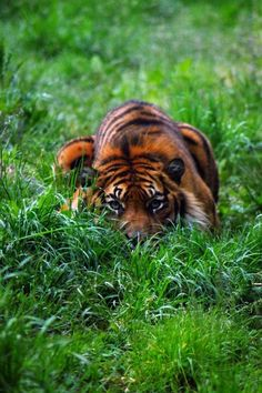 Hiding in the grass.