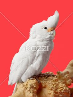white parrot - White parrot in a close-up image