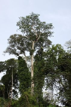 Risk of tree species disappearing in central Africa 'a major concern,' say researchers