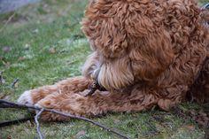 Early morning and I found the perfect stick to chew on  Have a great Monday  #labradoodlesofinstagram #loiprofilepic #australianlabradoodle #dogsofinstagram  #dogsofinstaworld #puppiesofinstagram #pupswithattitude #labradoodle #hundvalp #dogoftheday #ilovemydog #hund #labradoodlevalp #labradoodlepuppy #clubdoodle #lovemydog #sweden #stockholm #puppygr4m #doodlelife #topdogphoto #thedoggycalendar #härligahund #lacyandpaws  #oodlesoftheworld #igscandinavia #igsweden #thebestofscandinavia…