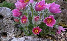 Die Rote Garten-Kuhschelle (Pulsatilla vulgaris 'Rubra') ist eine Gartenform der in den Alpen heimischen Wilden Kuhschelle. Das Hahnenfußgewächs blüht schon im März und April und ist eine wertvolle, frühe Bienenweide. Die Staude bevorzugt kalkhaltige, humose Böden