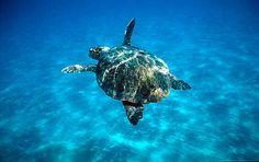 Caretta caretta Loggerhead turtle swimming in open sea. Zákinthos, Lagana Bay, Greece