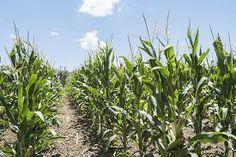 picture of corn field - Corn field with unripe cobs in the stalk - JPG