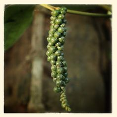 Black pepper on the vine.