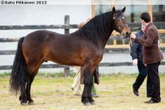 Connemara - stallion Darraheen Fionn