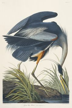 john james audubon birds - Google Search