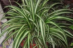 Spider Plant: this plant can remove up to 90 percent of the toxins in your indoor air. Top 10 NASA Approved Houseplants for Improving Indoor Air Quality