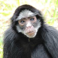 """""""Amanhece e anoitece Sem parar o meu tormento. Por saber que quem me esquece Não me sai do pensamento."""" - #NoelRosa  ________________________________  #dajfotos #monkey #primate #mammal #ape #portrait #animal #wildlife #fur #cute #wild #nature #jungle #hair #hairstyle #instahair #hairfashion #little #hairy #samba #bomdia #goodmorning #me #macaco #myself #selfie"""