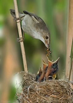 1X - (European) Reed Warbler. by yaki zander