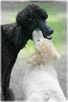 Poodle Love by Higher Standards, via Flickr