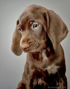 Find Out More On The Sporty German Shorthaired Pointer Puppies Temperament Gsp Puppies, Pointer Puppies, Pointer Dog, I Love Dogs, Cute Dogs, Animals Beautiful, Cute Animals, Beautiful Creatures, German Shorthaired Pointer