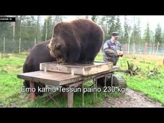Weighing Biggest Bear In Finland - YouTube