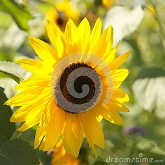 Sunflower - Stock Photos - Download From Over 61 Million High Quality Stock Photos, Images, Vectors. Sign up for FREE today. Image: 95125629