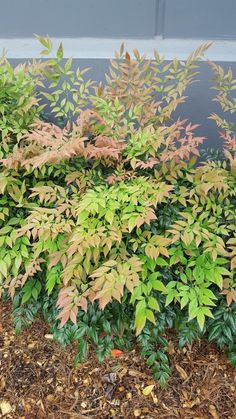 Find This Pin And More On Shrubs 1 To 2m By New Leaf Nursery