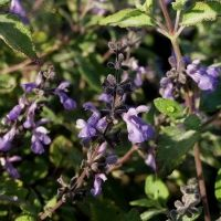 Grape Scented Sage. Over wintered well, can't wait for it to flower again