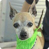 Adopt A Pet :: *PEE WEE - Austin, TX