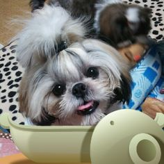 Shih Tzu smile! I own 4 and I absolutely love them<3