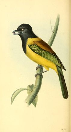 v. 1 - Zoological illustrations, or, Original figures and descriptions of new, rare, or interesting animals : - Biodiversity Heritage Library