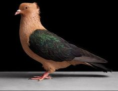 Wish I could read Russian. Pigeon Pictures, Animal Pictures, Racing Pigeon Lofts, Pigeon Cage, Dove Pigeon, Peace Pigeon, Pigeon Breeds, Racing Pigeons, Rare Birds